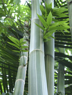 1106 Bamboo with Leaves 1
