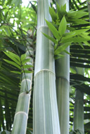 1107 Bamboo with Leaves 2