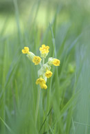 1120 Cowslips (small only)