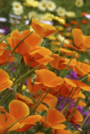 1160 Orange Poppy Spray 1