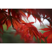 Feng Shui 1105 Autumn (Japanese Maple) Embers