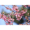 Feng Shui 1111 Blossom with Blue Sky