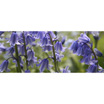 Feng Shui 1114 Bluebells Wide