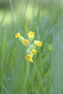 Feng Shui 1120 Cowslips (small only)