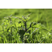 Feng Shui 1135 Nettle: Humble Nettle