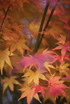 Feng Shui 1138 Japanese Maple Blur