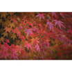 Feng Shui 1140 Japanese Maples1