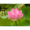 Feng Shui 1144 Open Lotus 1
