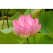 Feng Shui 1145 Open Lotus 2