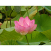 Feng Shui 1146 Lotus Open Full Frame