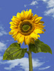 Feng Shui 1151 One Sunflower and Sky