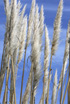 Feng Shui 1154 Pampas Grass Spears 1