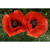 Feng Shui 1162 Poppies: Red Poppy Haze
