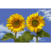 Feng Shui 1184 Two Sunflowers